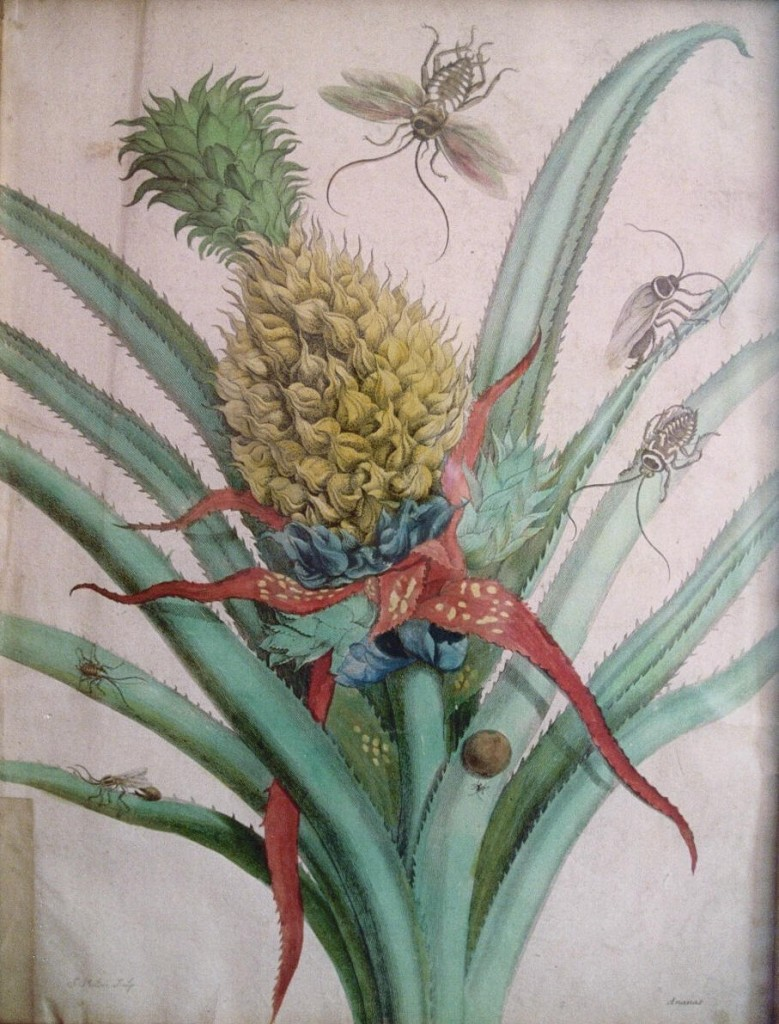 _3. Merian. Pineapple. Plate 1 Metamorphosis, 1705