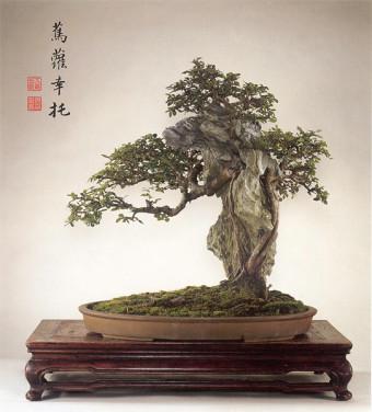 Ulmus Parviofolia. Chinese Penjing  (Wu Yee Sun, Hong Kong).