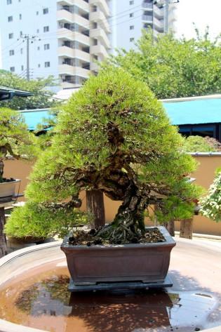 350 year old Black Pine bonsai. Mr Kobayashi, Tokyo. (K. Olson photo.)