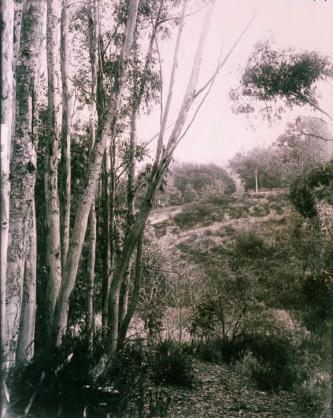 Eucalyptis trees, Rustic Canyon, Santa Monica, 1920.